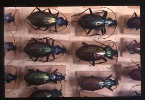 Collezione di entomologia, particolare di una cassetta di coleotteri