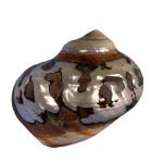 09 Collezione di malacologia, specie marina, Turbo sarmaticus Linneus